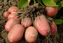 реколта от картофи