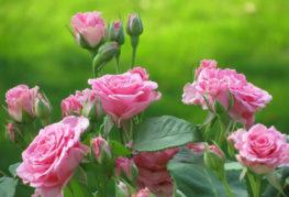 Буш роза
