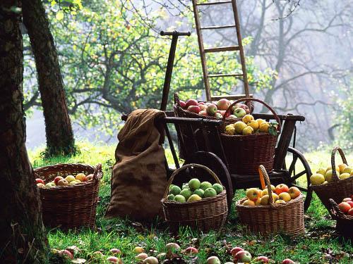 реколта от ябълки