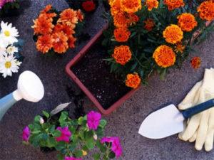 Торене на цветя в саксии с чай