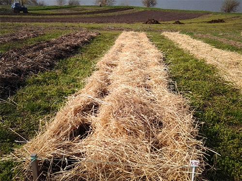 Използването на зелен тор в нивите