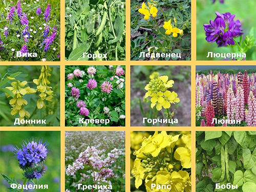 Основните видове растения със зелен оборски тор