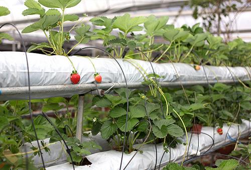 ягоди в хидропоника
