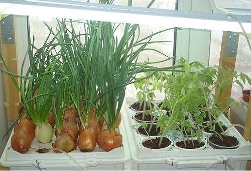 отглеждане на зеленчуци хидропонично