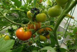 отглеждане на домати с помощта на хидропоника