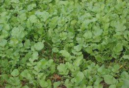 маслодайна репичка зелен оборски тор