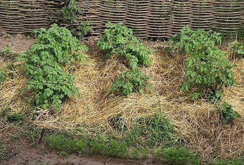 отглеждане на картофи в земята
