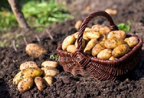 картофи в кошница