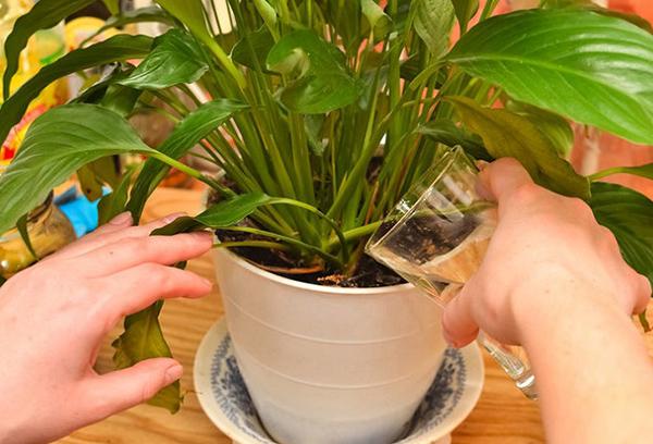 Поливане на стайно растение