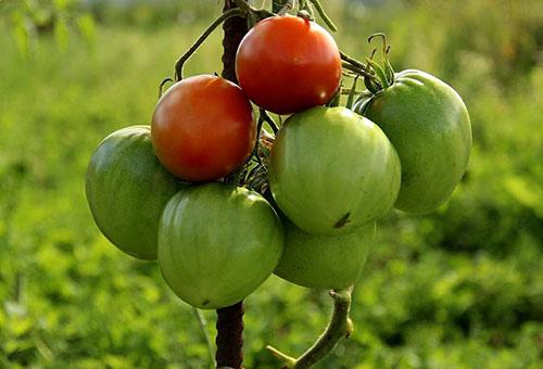 Зреещи домати