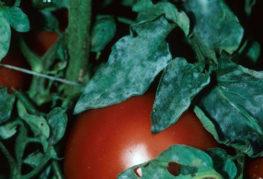 Брашнеста мана върху домати