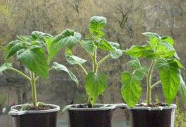 Разсад на домати на перваза