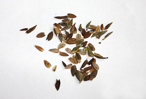 Семена на циния