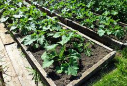 Градина с тиквички