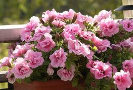 Розова петуния