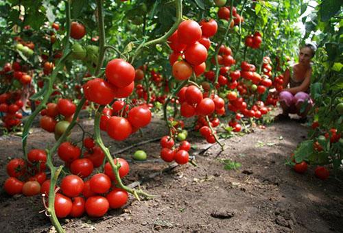 Реколтата от домати