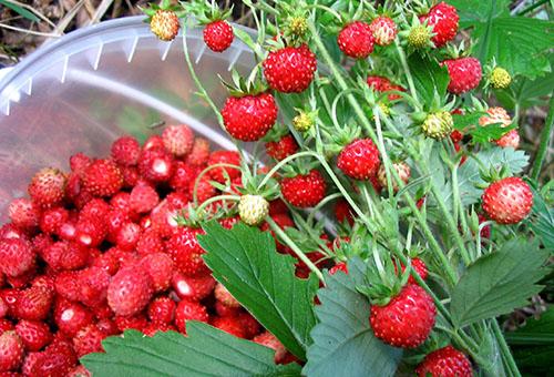 Бране на ягоди