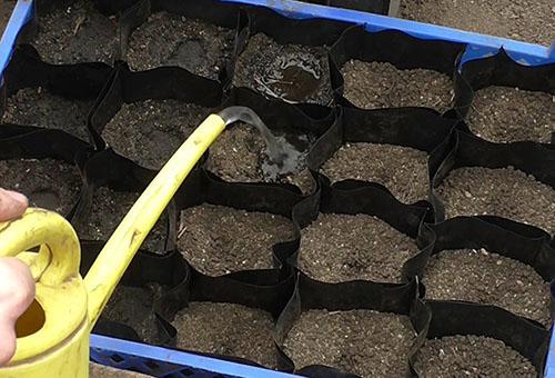 Поливане на саксии със семена от краставици