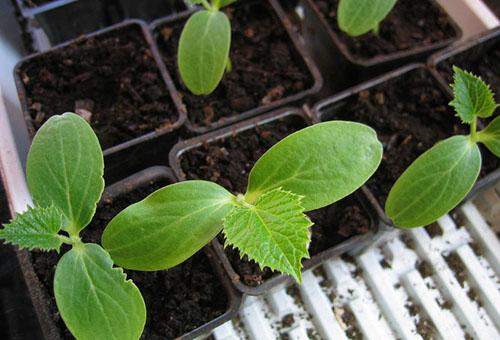 Правилно отглеждане на разсад от краставици