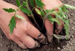 Засаждане на домати в земята