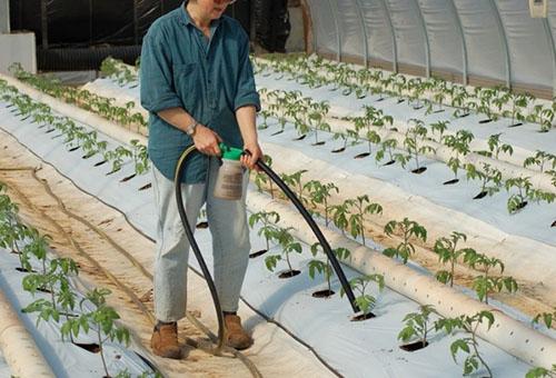 Горна дресинг на домати в оранжерията