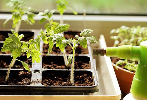 Горна дресинг на домати разсад