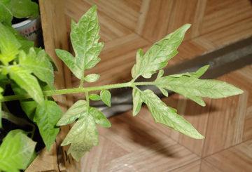 Палиден доматен лист