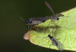 Sciarids - гъби комари