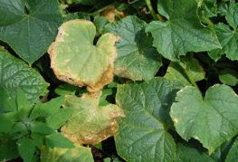 Листата от краставица пожълтяват