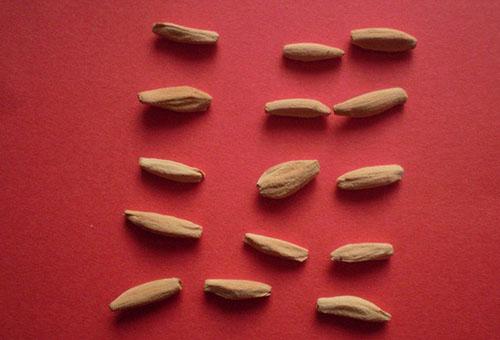 Адениум семена