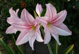 Бял амарилис с розови ивици