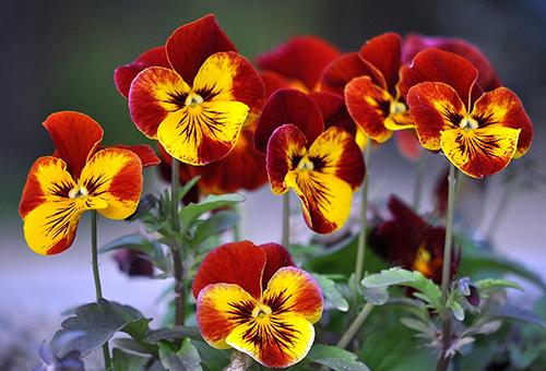 Червени и жълти теменужки