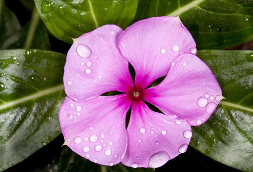 Розово цветче на барбекю