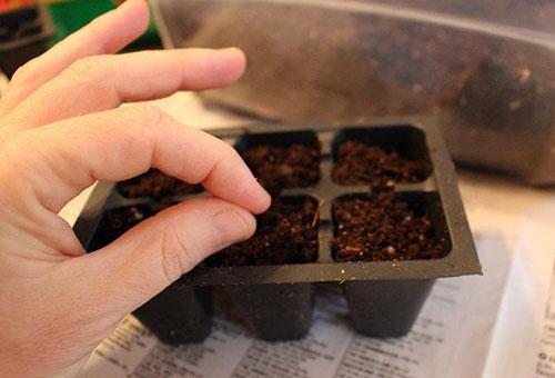 Засяване на семена от босилек