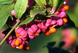 Клон на euonymus с плодове