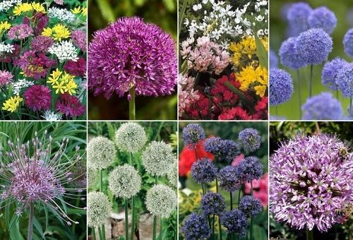 Многоцветни цветя