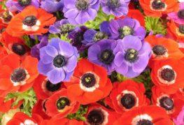 Червени и люлякови цветя