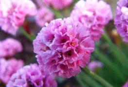 Армерия цвете