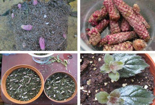 Размножаване на цветя от коренище