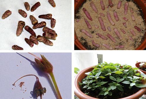 Покълващи семена на цветя