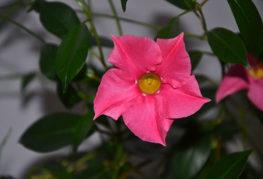 Розово цвете на диплоания