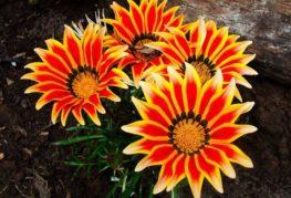 Gazania цветя