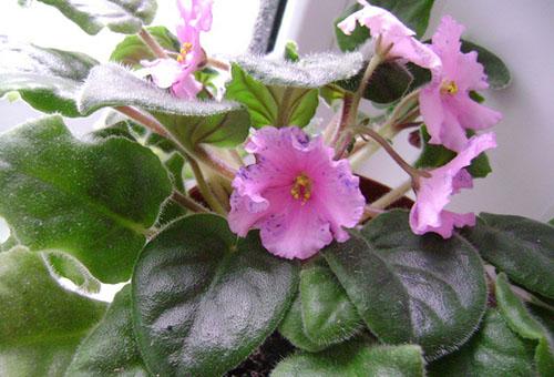 Цъфтяща розова виолетова