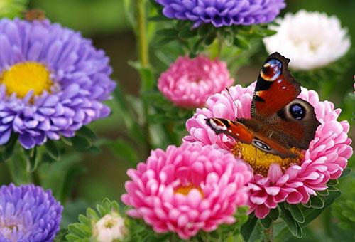 Пеперуда на цвете астра