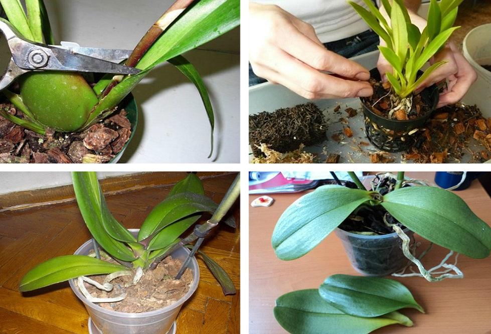 размножаване на орхидеи