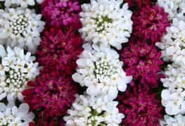 Иберис от различни цветове