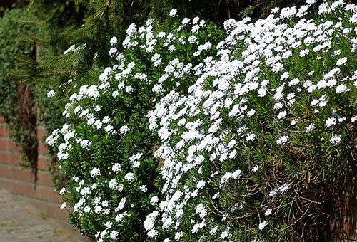 Бял иберис