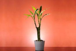 декоративен бамбук