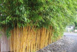 Бамбук, засаден до стената