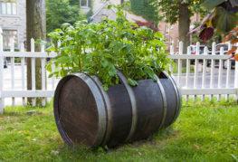 Отглеждане на картофи в дървена бъчва
